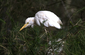 Cattle Egret, Williamstown, Victoria [ID:3613]