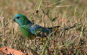 Red-rumped Parrot, Point Cook, Victoria