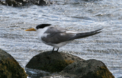 Great Crested Tern, Flinders, Victoria