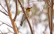 Bee-eater, You Yangs, Victoria [ID:3800]