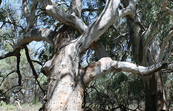 An Aboriginal marker tree at Chowilla Floodplain [ID:2321]
