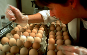 Inoculating Eggs for Influenza Production