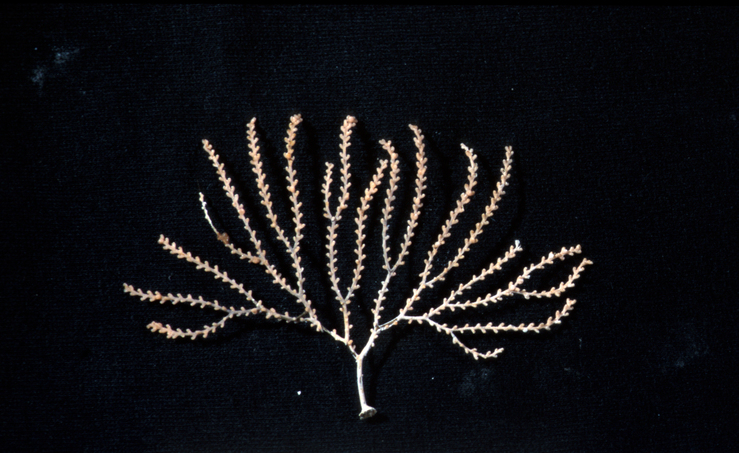 A Fern Species Found on a Seamount