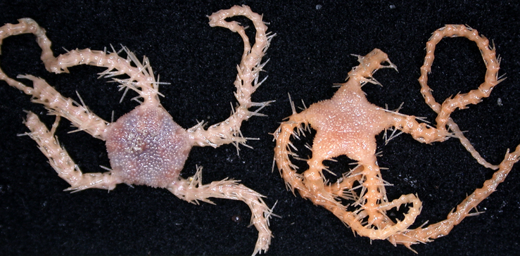 A new species of Ophiacantha brittle-star