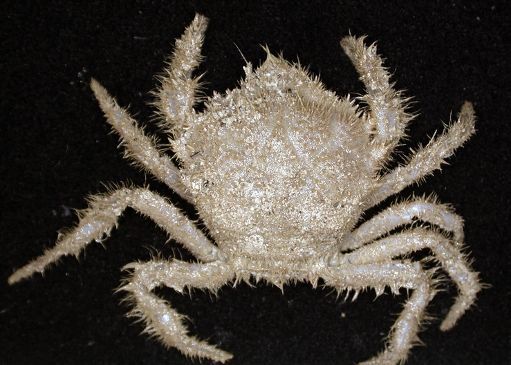 A new species of Trichopeltarion crab - a group of deepsea c...