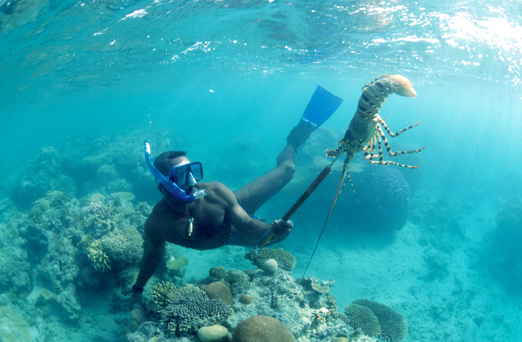 Diver catching a rock lobster