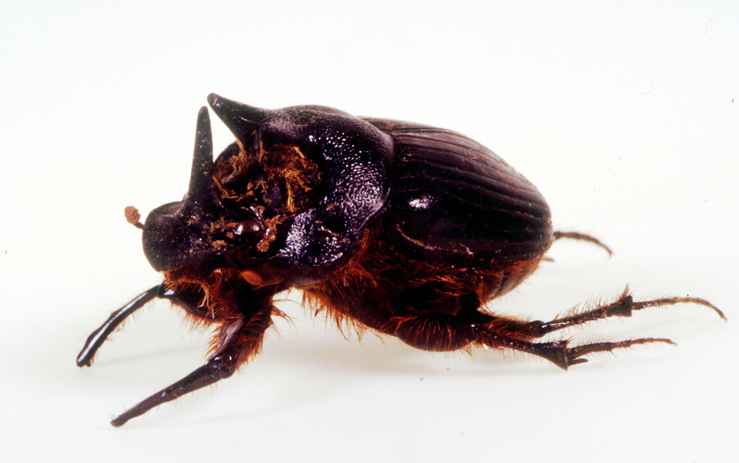 A Close up of a Dung Beetle