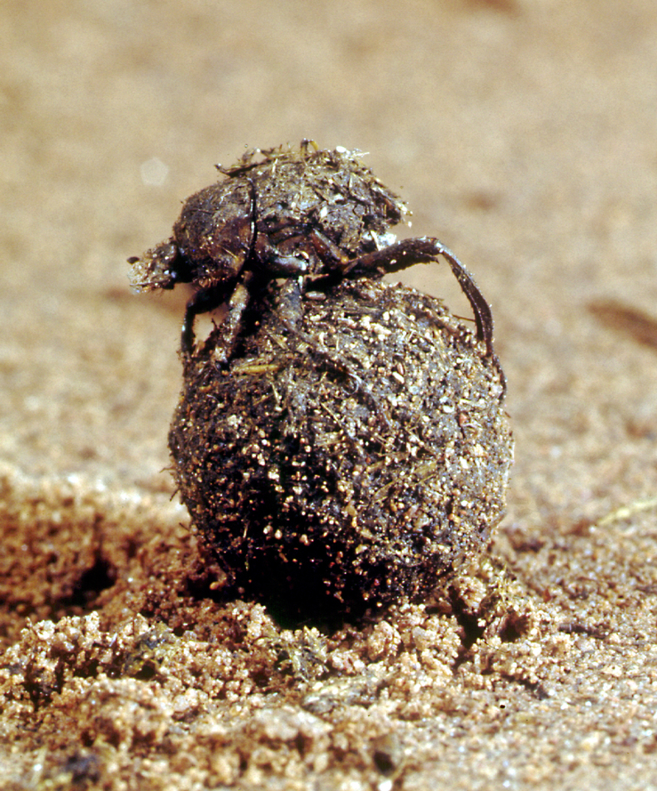 A Dung beetle at Work