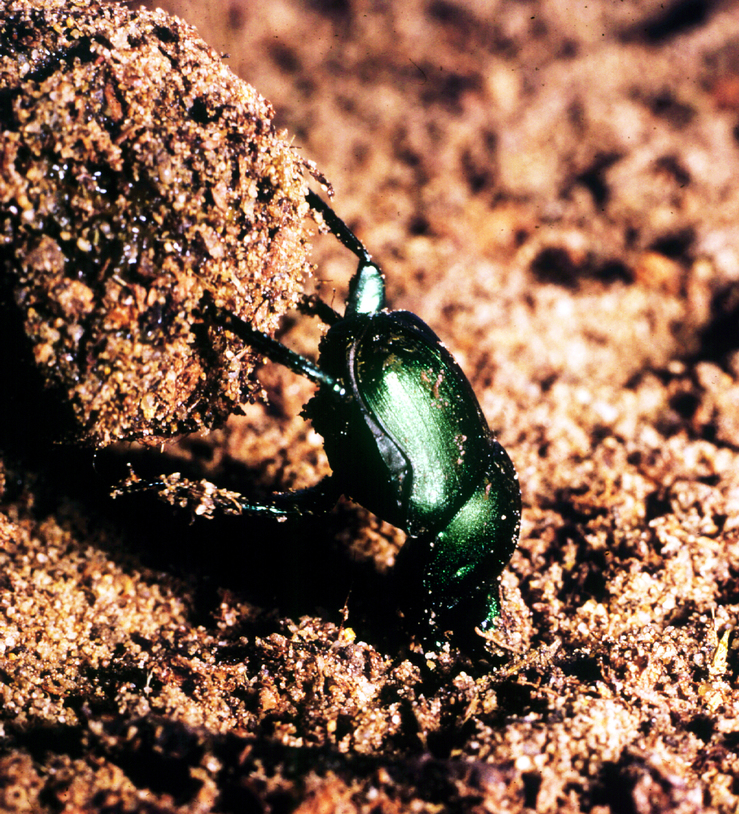 A Dung Beetle Gathering Dung
