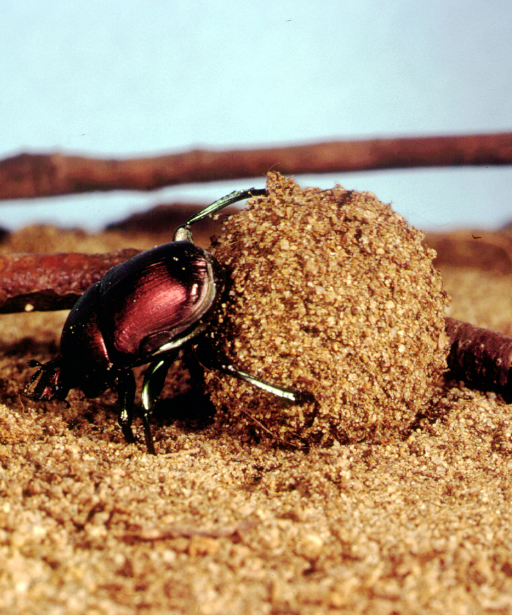 A Dung beetle
