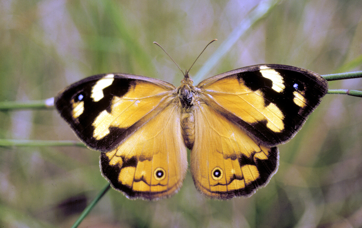 Image result for common brown butterflies