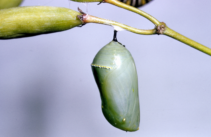 Cocoon of the Wanderer butterfly/Monarch butterfly