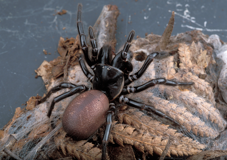 A Female Funnel Web Spider