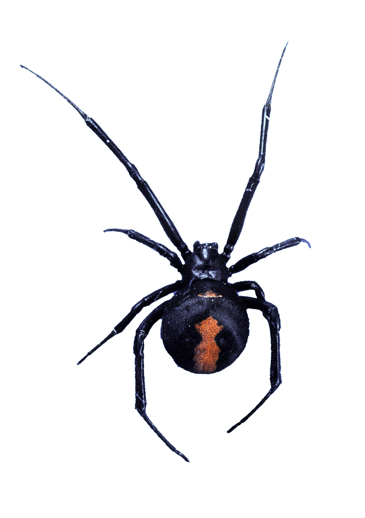 A Red Back Spider