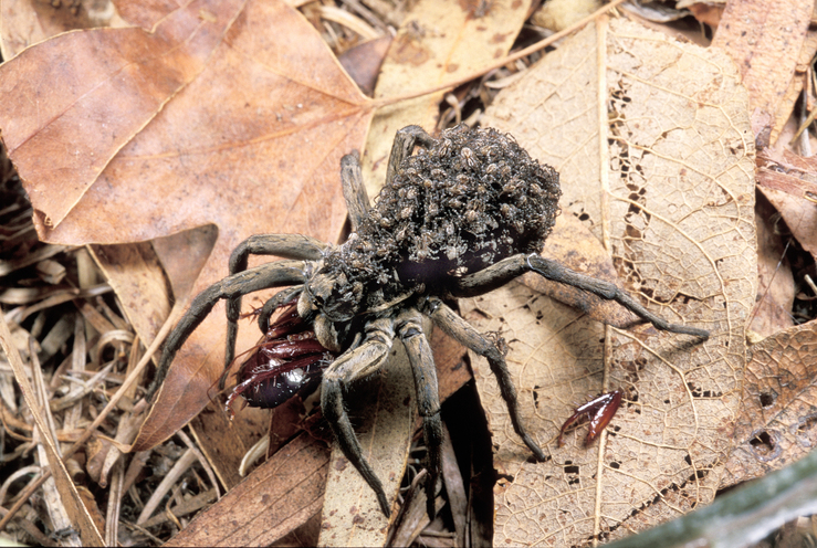 Spiderlings Riding on Godeffroy Wolf Spider Mother
