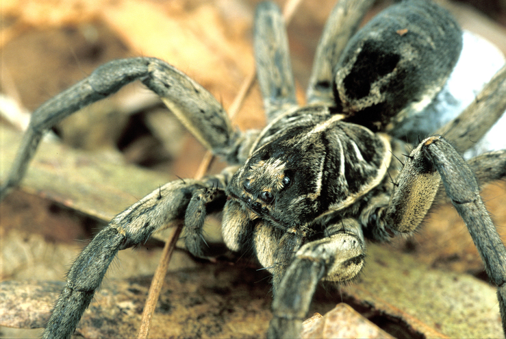 Godeffroy's Wolf Spider and her Egg Sac