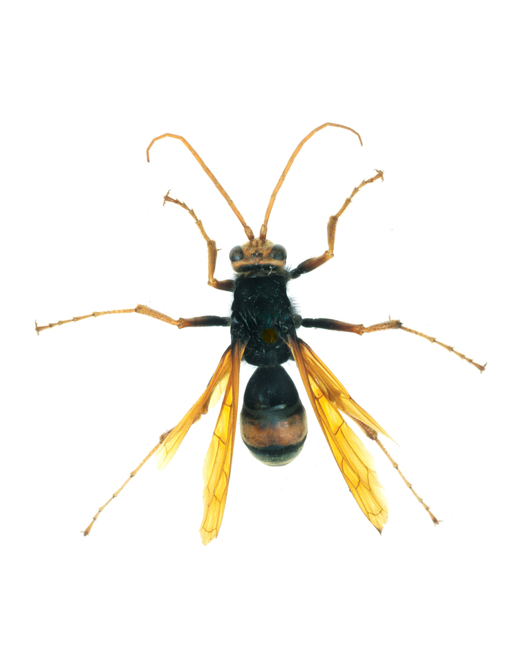 A Female Spider Wasp