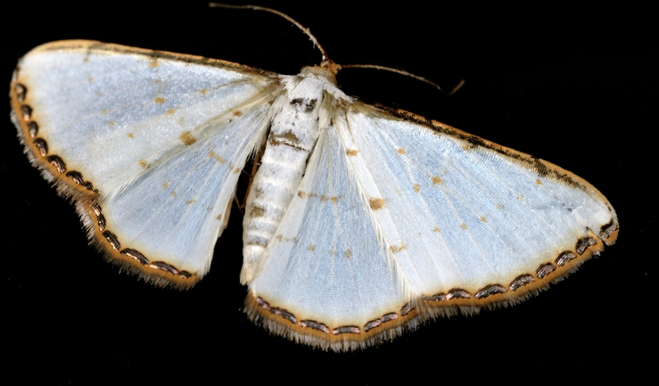 Adult Mimosa Moth