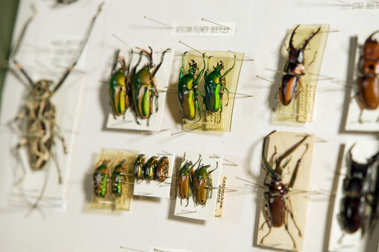Beetles on a display board at ANIC