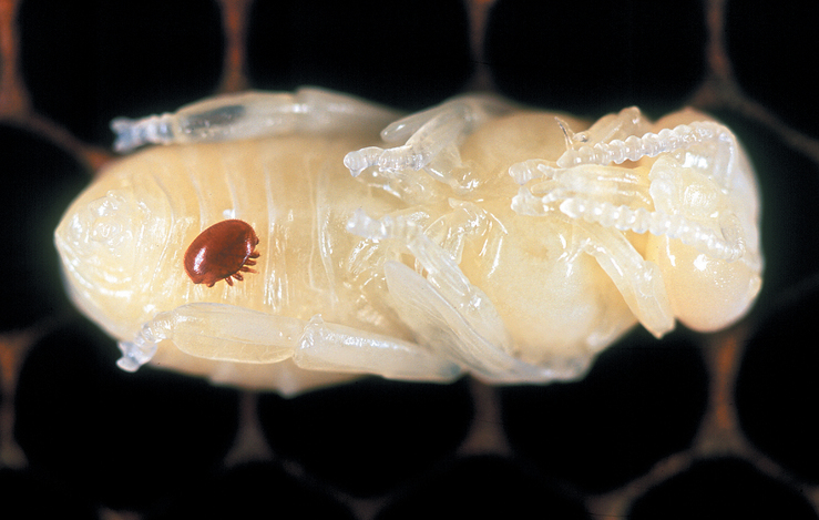 A varroa mite, Varroa destructor, on a honeybee pupa