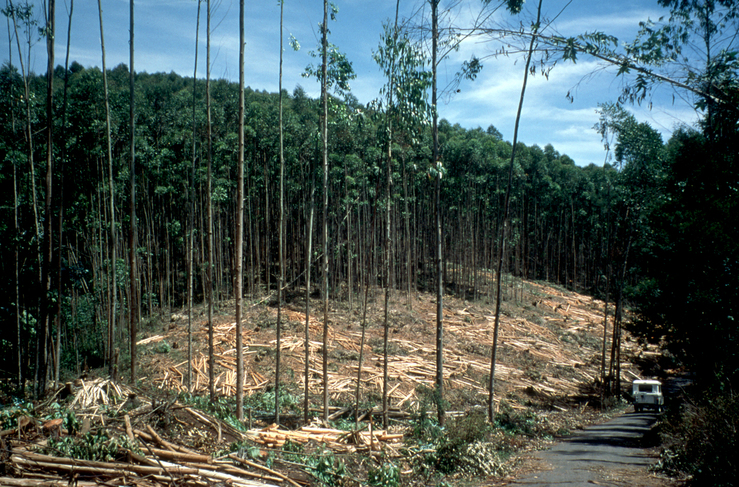 Eucalypt Plantation Harvest in India