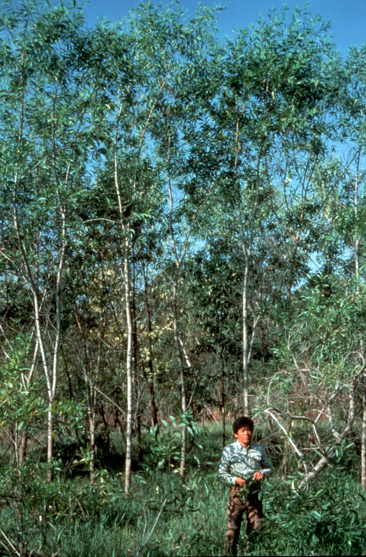 Acacia auriculiformis in Another Country
