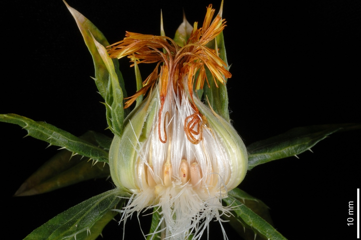dissected flower of safflower plant