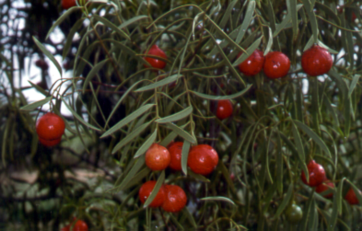 Fruit on the Quandong Tree