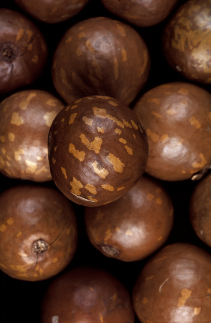 CSIRO has identified the 'ideal' macadamia preferred by cons...
