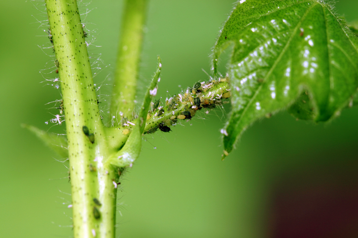 Aphids on cotton_4
