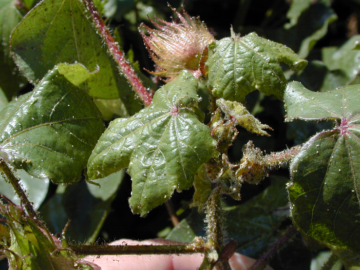 Aphids on cotton_5