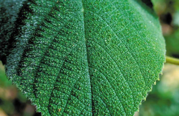 Leaf of the Gympie-Gympie, one - CSIRO Science Image ...