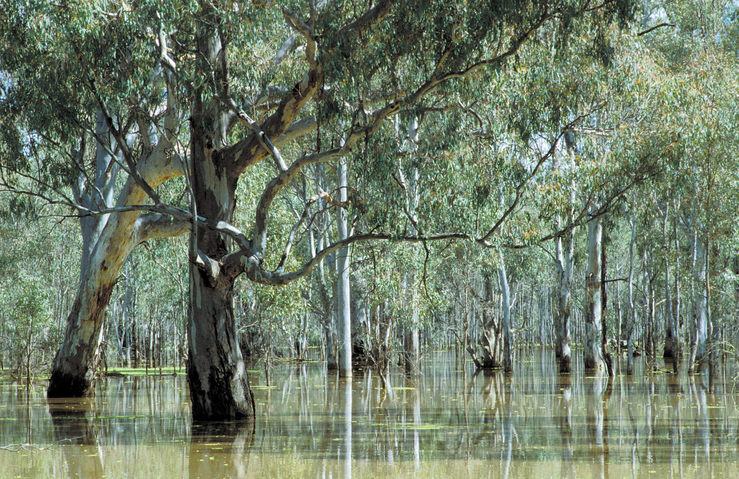 Flooded Barmah Forest River Gu Csiro Science Image