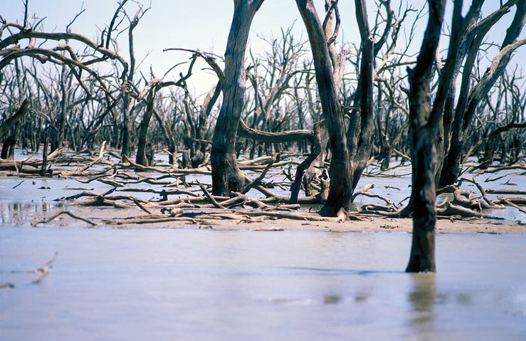 Dead trees in the Barrenbox Swamp near Griffith, NSW. 1997.