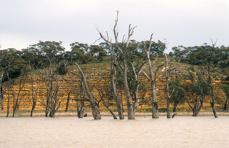 Dead river gums and limestone cliffs on the Murray River nea...