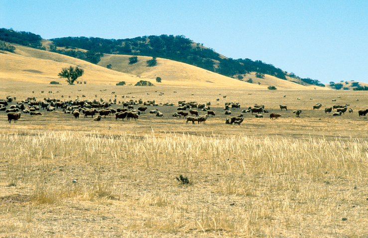 Sheep in semi arid region north east of Burra, SA. 1992.