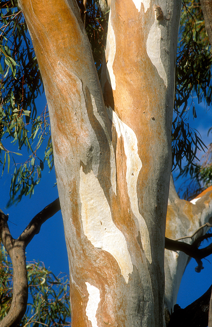 Bark patterns on a Red River Gum