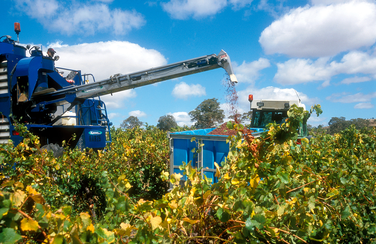 Grape harvesting machinery in operation at a vineyard in the...