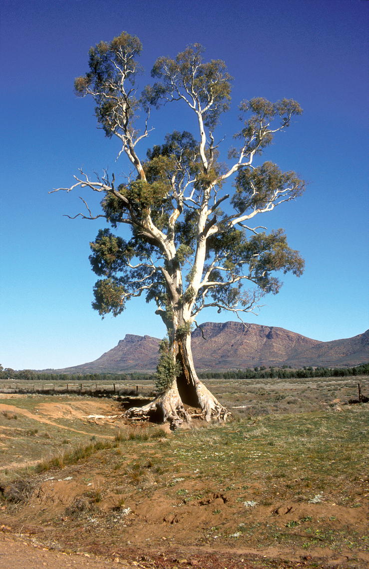 Casneaux's Tree with the ramparts of Wilpena Pound in the ba...