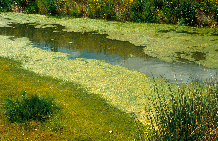 Blue-green algae in irrigation drain