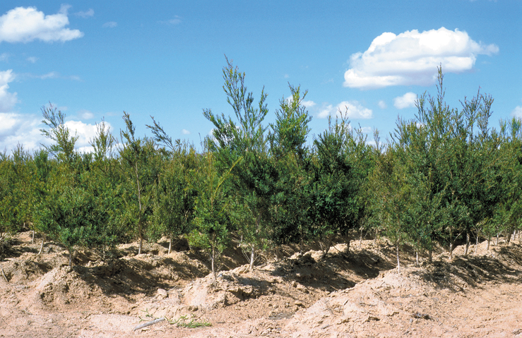 Tea trees at the Oilfields Tea Tree Investment Company's tea...