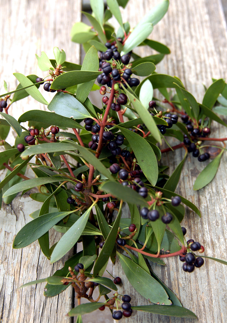 Leaves and Berries of the Mountain Pepper - Tasmannia lanceo...