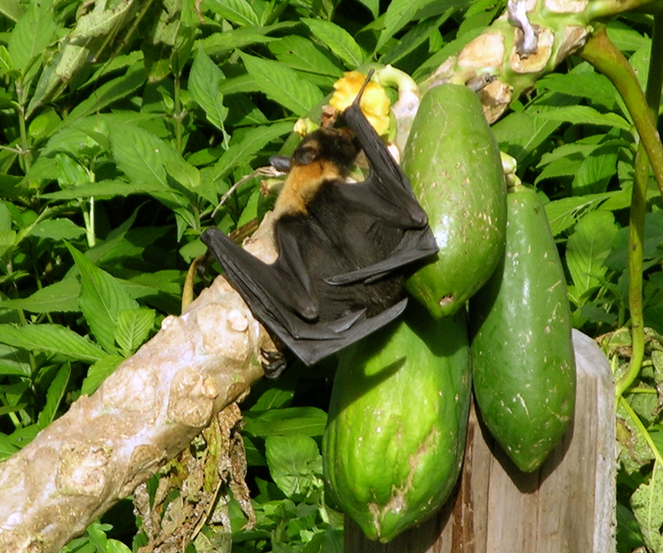 Bat venturing out in daylight to feed on fallen papayas