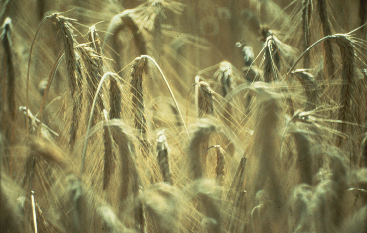 how to draw wheat stalks