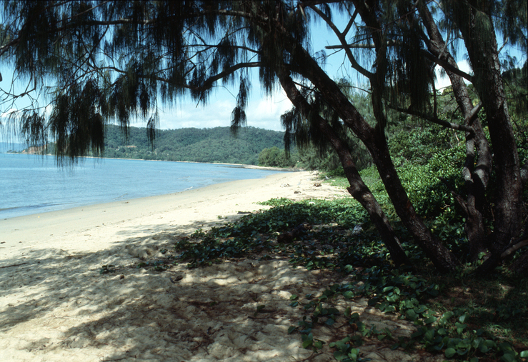 Casuarina Tree on a Beach