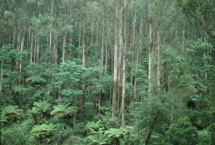 Image result for mountain ash forest tasmania