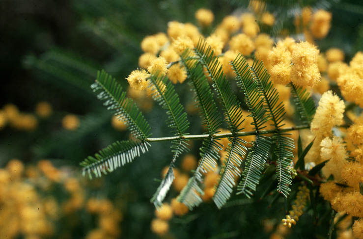 Bipinnate Leaves of Wattle