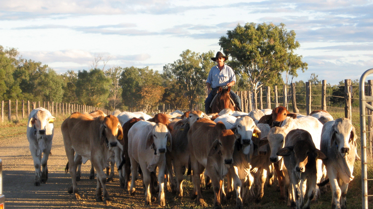 A stockman musters cattle on CSIRO's Belmont Research Statio...
