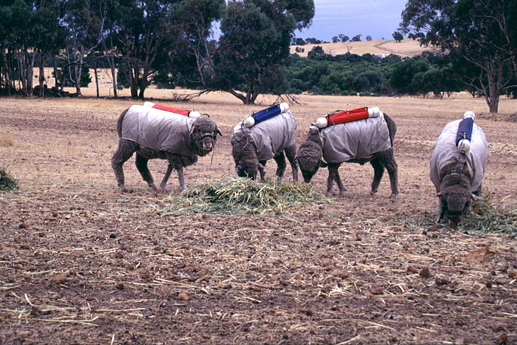 Testing Sheep for Methane Production