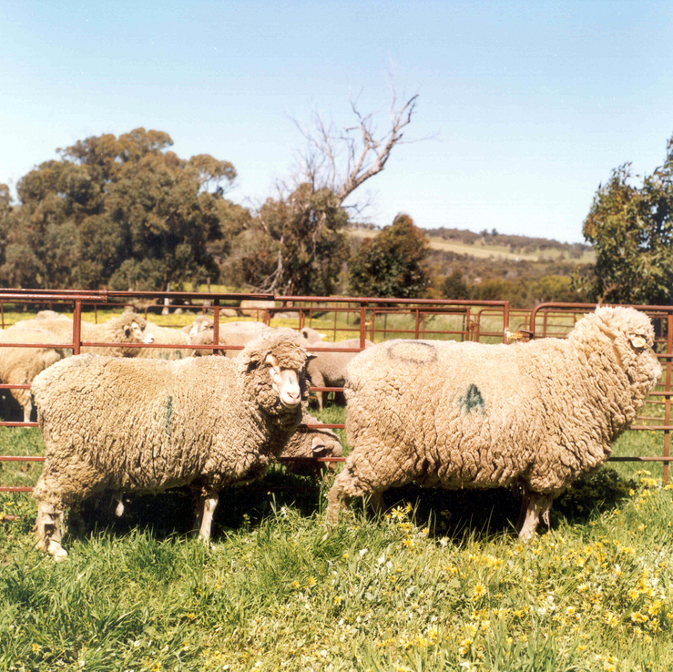 A normal sized control sheep (left) and transgenic sheep (ri...